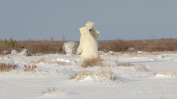 Polar bears fighting sparring in the snow Footage