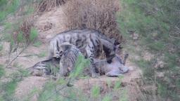 Striped Hyena Family stock footage