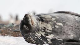 Weddell seal resting Footage