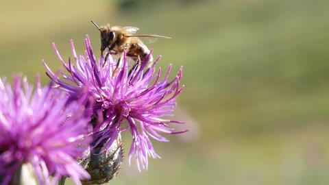 Bee Landing on Thistle Flower And Gather Nectar In Sunny Day Footage