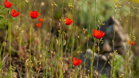Wild poppy flowers in the grass Footage