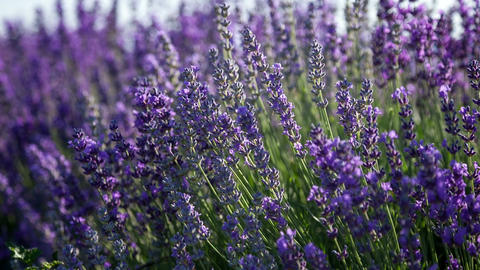 Flowering sprigs of lavender swaying in the wind Footage
