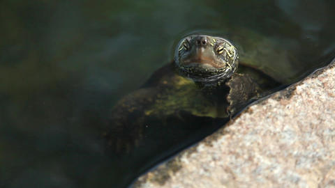 a turtle that makes a face out of the pond Live Action