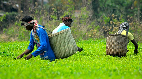 Mid close shot of tea worker collecting leaves Image
