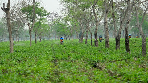 Pesticide being sprayed over tea leaves in Assam Tea garden Filmmaterial