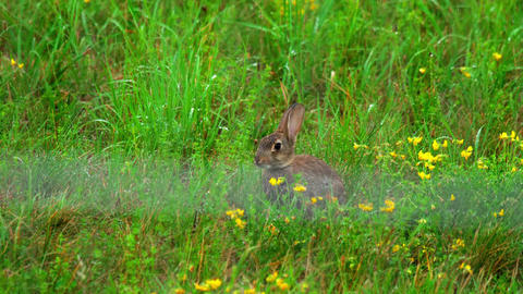 Hare in green grass, a rain shower Footage