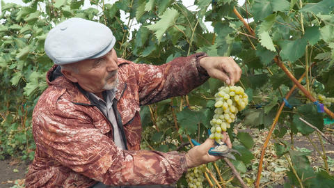 Agronomist examines a bunch of grapes Archivo