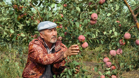 Agronomist examines a bunch of apples Footage