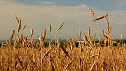 Yellow ears wheat sway in the wind Image