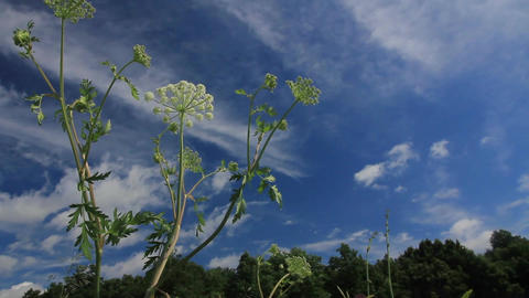 cow-parsnip Footage