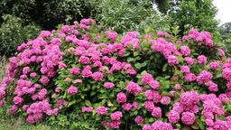 Hydrangeas on a windy summers day UK Image