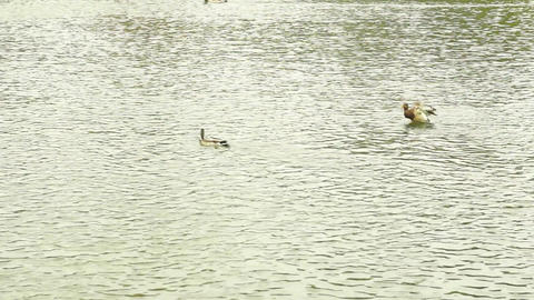Ducks on the Water Footage