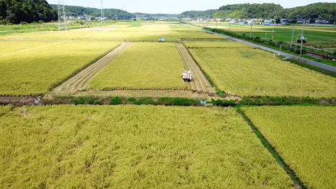 rice harvest Live Action