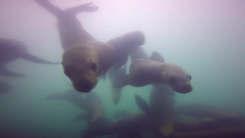 Fascinating underwater diving with sea lions in the Pacific ocean off the Footage