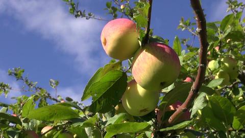 sweet summer ripe apple on branch in garden Filmmaterial