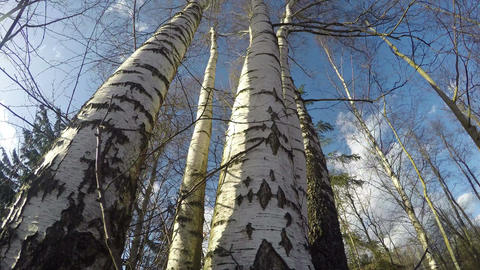 strong wind in spring birch forest. Time lapse Footage