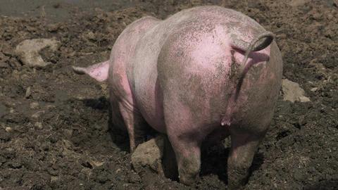 Pig Mud Back Close Up Footage