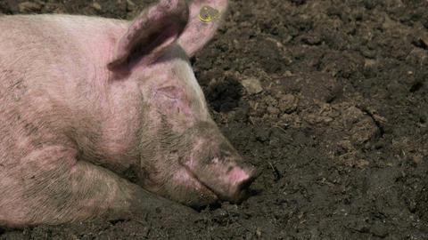 Pig Mud Snout Close Up Footage