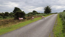 Sheep crossing the road at Exmoor National Park Somerset UK Footage