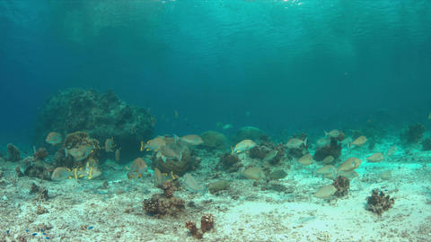 Unicornfishes and Blubberlip Snapper on a coral reef Footage