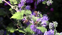 Bees on mint bush blossoms in the garden - macro Footage