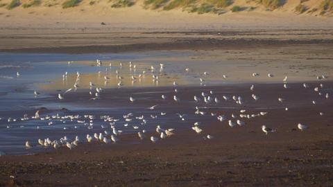 Flock Of Seagulls At Scottish Beach, Real 200fps SlowMo Archivo