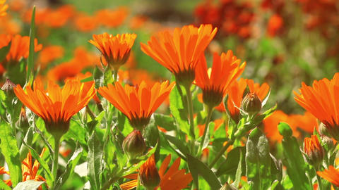 Marigold flowers swaying in the wind Footage