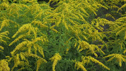 Yellow Solidago virgaurea flower in summer garden Footage