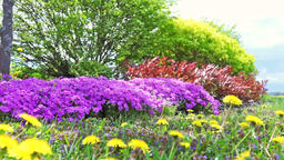 Ground level view of Creeping Phlox Purple Beauty flowers bush in wind in Footage