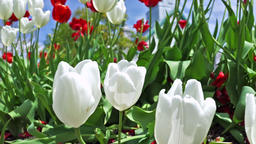 Field or flowerbed of beautiful red and white tulips macro closeup with bokeh in Footage