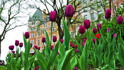 Quebec City, Canada - May 29, 2017: Old town street with purple tulip flowers Footage