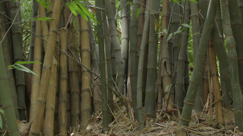 Indian bamboo trees Footage