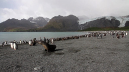 Southern Fur Seal With Penguins stock footage