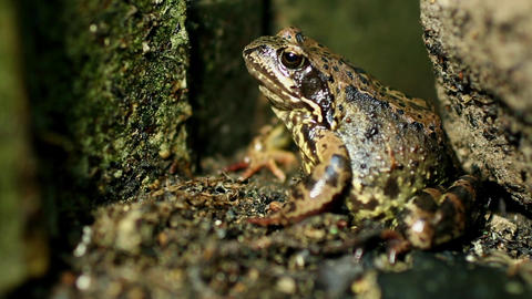Large forest toad sits motionless Footage