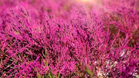 Soleros herbaceous plant sun Footage
