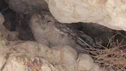 Desert tawny owl Footage