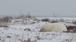 Polar bear lying on the snow Footage