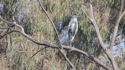 Grey heron standing standing on a branch Footage