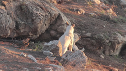 Feral dogs Footage