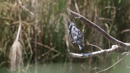 Pied kingfisher standing on branch Footage