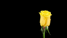 Rotating yellow rose on black Footage