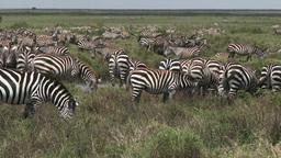 Herd of Zebra foraging together Footage