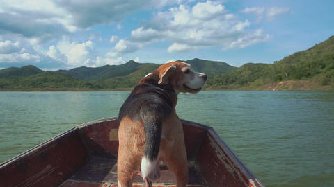 Calming beagle dog on boat with his flying ears Archivo