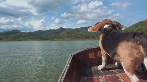 Calming beagle dog on boat with his flying ears Footage