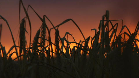 Barley silhouettes with sunrise Footage