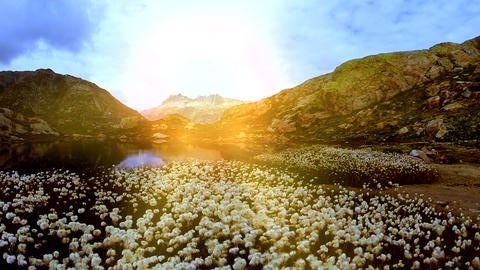 Beautiful cotton field flowers at mountain lake scenery aerial view GIF