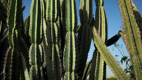 Cactus plants in the sun with rack focus Footage