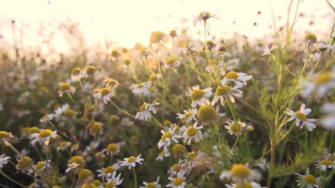 Camomile tea flowers GIF