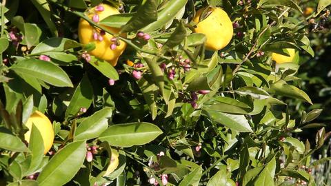 Lemons on lemon tree slide rail shot Footage