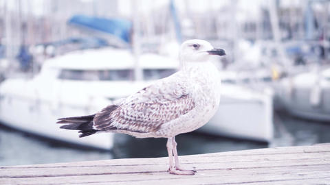 Seagull walking on the pier against blurred sailing boats Footage